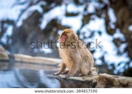 Japanese Snow Monkey at Jigokudani snow monkey park, Nagano, Japan. - stock photo