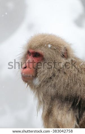 Japanese snow monkey in hot spring located in Jigokudani, Nagano, Japan - stock photo
