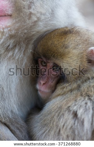 Japanese Snow Monkey in the wild - stock photo