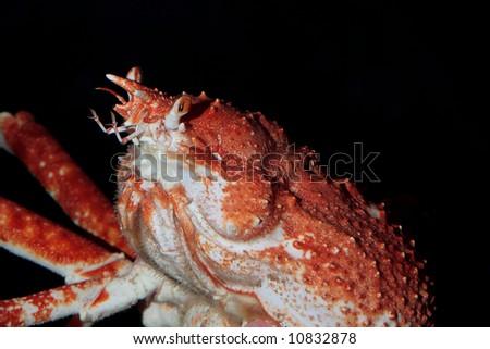 japanese spider crab details
