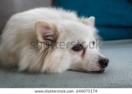 Japanese Spitz dog closeup portrait
