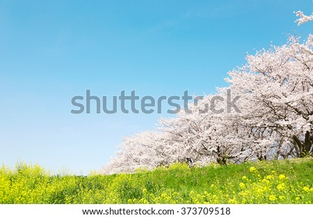 Japanese spring scenic with cherry blossom. - stock photo