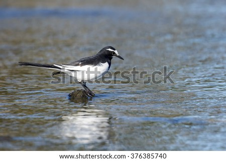 Japanese Wagtail aiming for bug in water. - stock photo