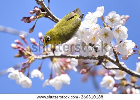 Japanese white-eye (Mejiro) on cherry branch. - stock photo