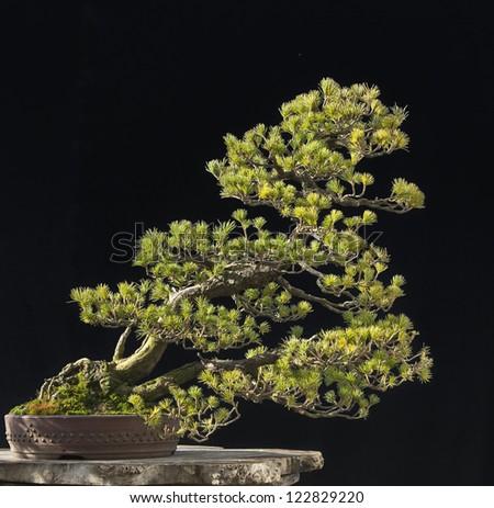 Japanese white pine bonsai - stock photo
