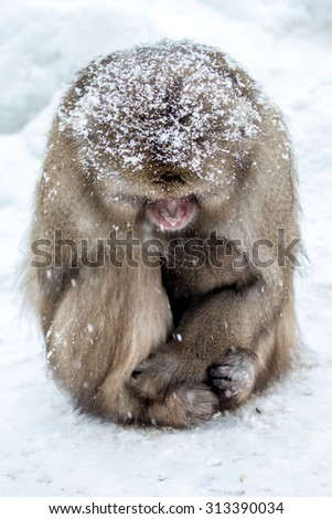 japnanese snow monkey  in winter - stock photo