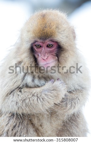 japnanese snow monkey shooting in winter