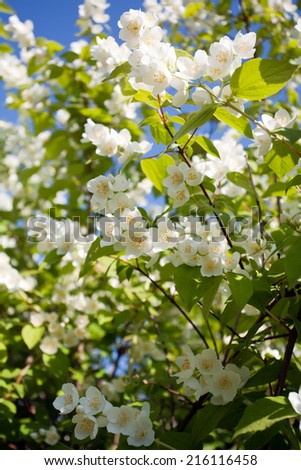 jasmin blossom tree closeup with a lot of white flowers on green leaves and blue sky background - stock photo