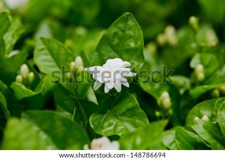 Jasmine - stock photo