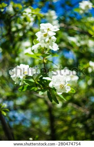 Jasmine bush blooming in the sprig time garden - stock photo
