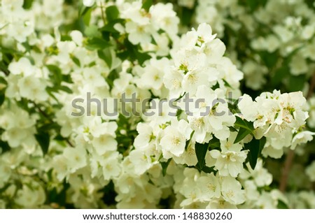 Jasmine flower growing on the bush in  garden, floral background - stock photo