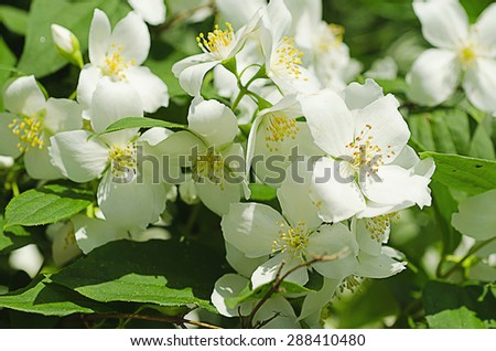 Jasmine flower growing on the bush in  garden, vintage retro hipster image - stock photo