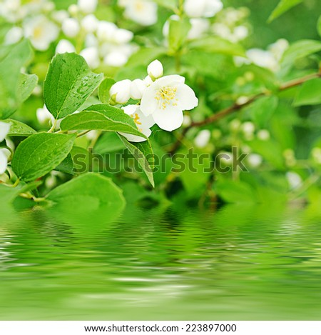 Jasmine flower growing on the bush in  garden with water reflection - stock photo