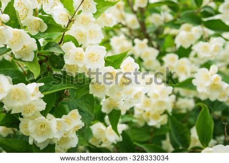 Jasmine flowers - stock photo