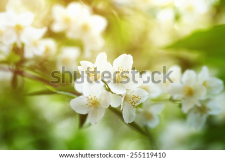 Jasmine flowers blossoming on bush in sunny day - stock photo