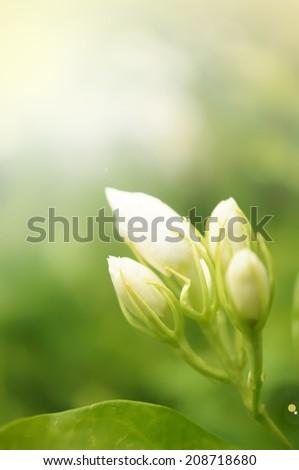 Jasmine flowers for background - stock photo