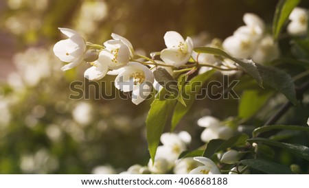 jasmine flowers in bloom outdoor photo, vintage toned - stock photo