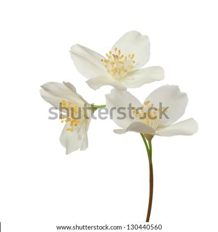 Jasmine flowers isolated on a white background - stock photo