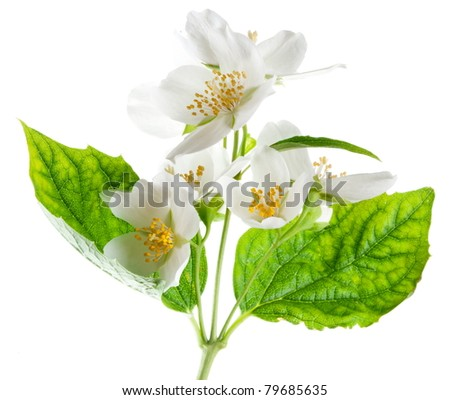 Jasmine flowers isolated on a white background. - stock photo