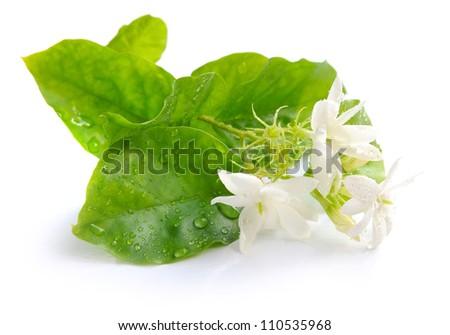 Jasmine flowers isolated on white background - stock photo