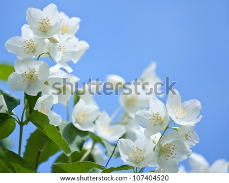 Jasmine flowers on the blue sky background; beautiful jasmin flowers in bloom - stock photo