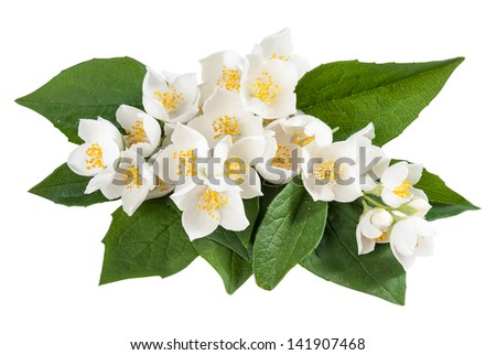 Jasmine flowers with leaves isolated on white background - stock photo