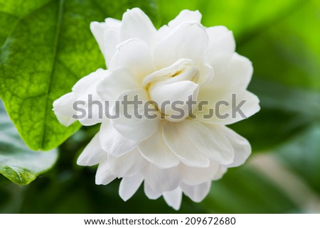 Jasmine for  mother's Day in thailand  - stock photo