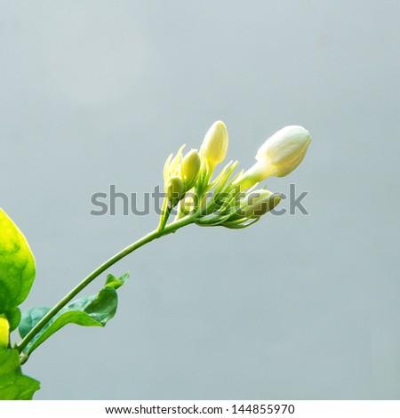 Jasmine isolated   - stock photo