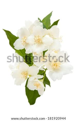 Jasmine isolated on the white background - stock photo