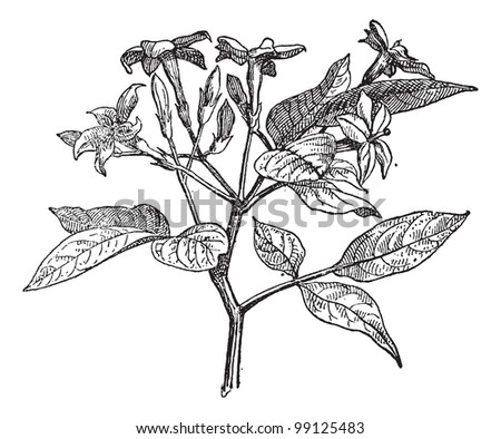 Jasmine or Jasminum, vintage engraved illustration. Dictionary of words and things - Larive and Fleury - 1895.