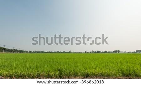 Jasmine rice farm  in Thailand - stock photo