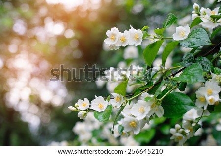 jasmine spring flowers with raindrops. - stock photo