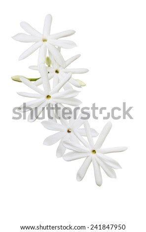 Jasminum Elongatum wild flower isolated on white background - stock photo