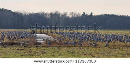 Jasper Pulaski Sandhill Cranes in Indiana. - stock photo