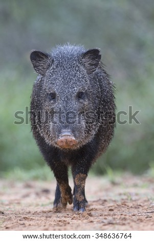 Javelina in Rio Grande Valley of southern Texas - stock photo