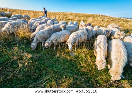 Jaworki, Poland - August 30, 2015: Shepherd walking with his flock of sheep and dogs grazing on the hill of Pieniny Mountains, Poland