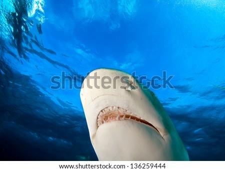 Jaws of lemon shark - stock photo