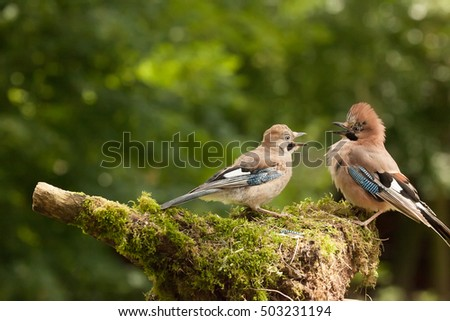 Jay bird mother feeding a demanding young Jay chick on a mossy log in Lincolnshire UK