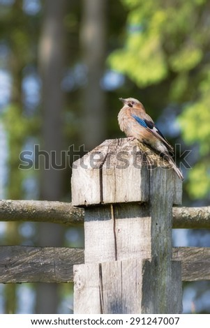 jay bird on a wooden column inhabitants of the forest