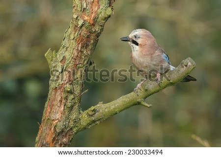 Jay bird perched in a tree - stock photo