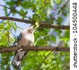 Jay bird perched on a maple tree with leaf in the beak - stock photo