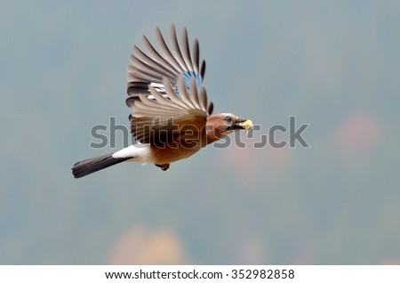 jay in natural habitat (Garrulus Glandarius) - stock photo