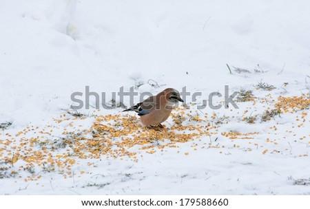 jay on snow.Garrulus glandarius - stock photo