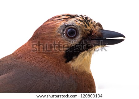 jay photographed by a close up on a white background - stock photo