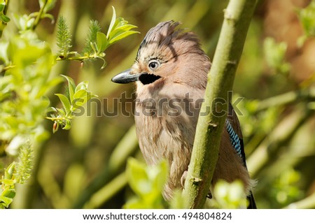 jay sitting in the bush