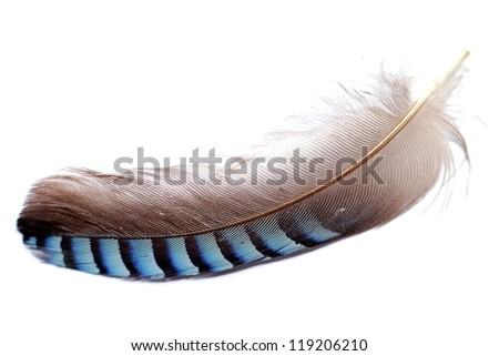 Jays feather on a white background