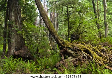 Jedediah smith redwoods state park in the spring