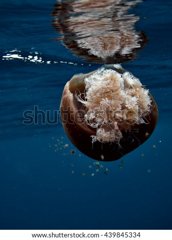 Jellyfish and reflection in water surface, hosting a school of juvenile fish. Phang Nga Bay in the Andaman Sea, east of Phuket, Thailand. Jellyfish often host juvenile marine animals; fish, crabs, ... - stock photo