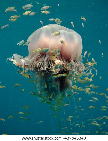 Jellyfish in the waters of Phang Nga Bay in the Andaman Sea, east of Phuket, Thailand. Large jellyfish often are host to juvenile marine animals, such as fish, crabs or sea stars, in their tentacles - stock photo