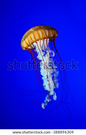 Jellyfish isolated on blue background